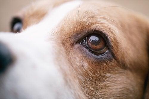 gros plans sur les yeux d'un chien