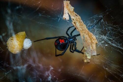 une araignée noire et rouge sur sa toile