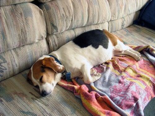 Le sommeil des chiens seniors