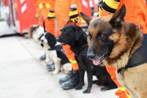 Les chiens d'intervention spécialisés dans le sauvetage ! Que savez-vous d'eux ?