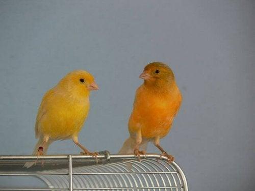 deux canaris perchée sur une cage