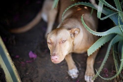 chien près d'une plante aloe vera