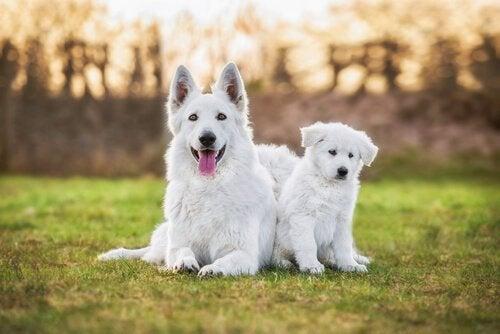Un berger blanc suisse et un chiot
