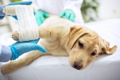 vétérinaire qui place un bandage sur la patte d'un chien