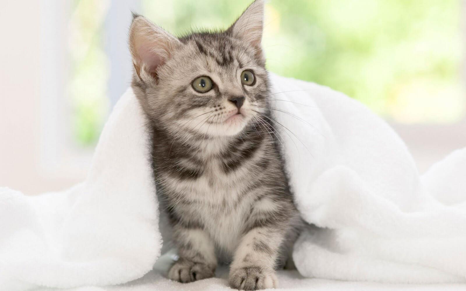 chaton sous une couverture