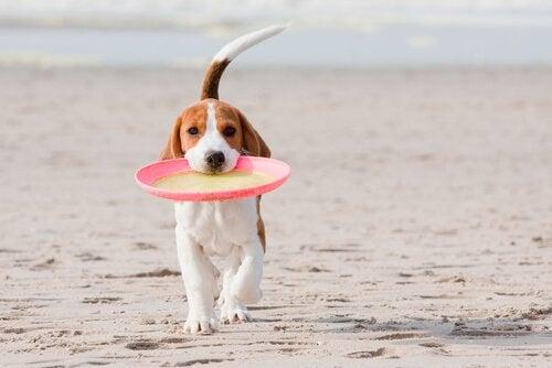 chien qui joue au frisbee sur une plage