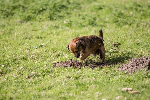 chien près d'un terrier de taupe