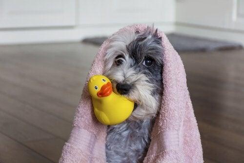 un chien enroulé dans une serviette tient un canard en plastique dans la bouche