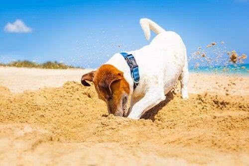 Un chien creuse dans le sable