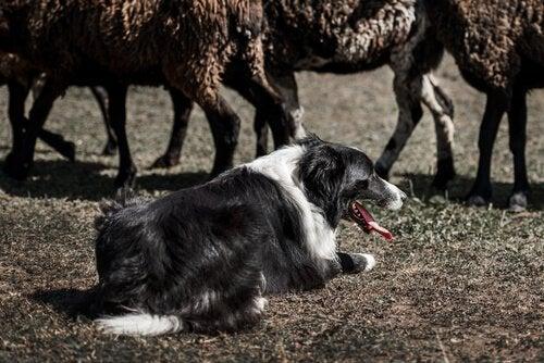 Un chien est couché dans la terre devant des moutons