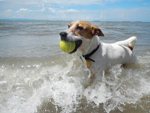 chien qui joue dans la mer avec une balle de tennis