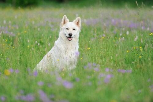 Le berger blanc suisse : beau et intelligent