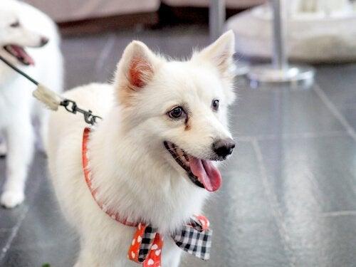 Nettoyer les taches marrons sous les yeux de votre chien