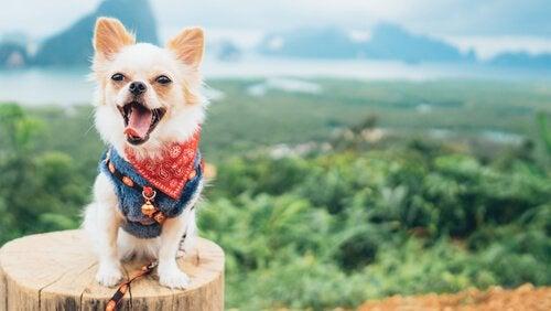 un chihuahua face à un paysage de montagnes