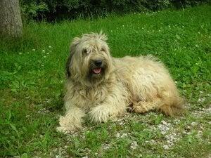 Le berger catalan ou gos d'atura