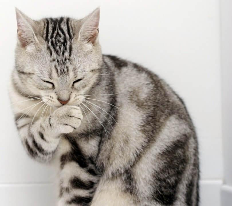 Un chat se lèche la patte