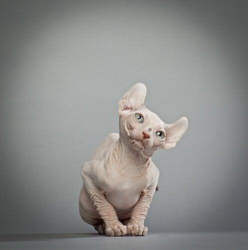 un chat elf pose