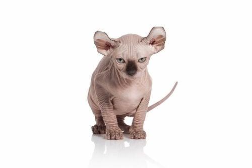 un chat elf typé birman