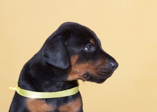 Le ruban jaune qui permet à votre chien d'avoir son espace