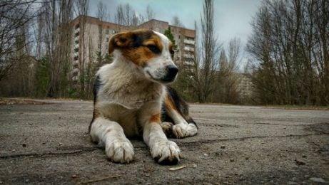 chien couché par terre à Tchernobyl