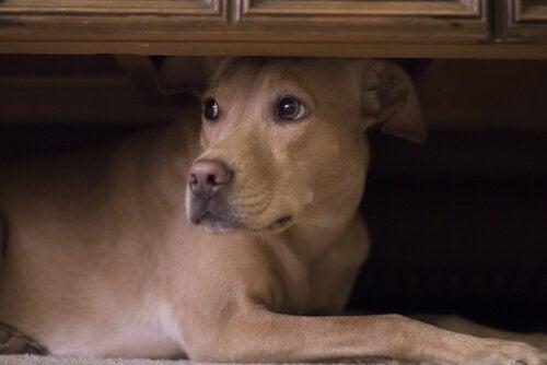un chien croisé se cache sous un meuble