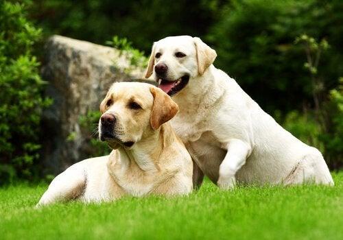 deux labradors beige allongés dans l'herbe