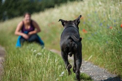 Un chien court vers son maître