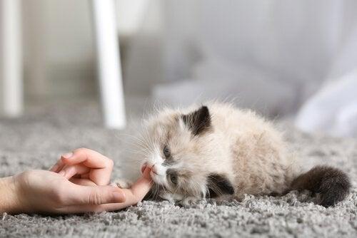 Les premiers jours d'un chat à la maison