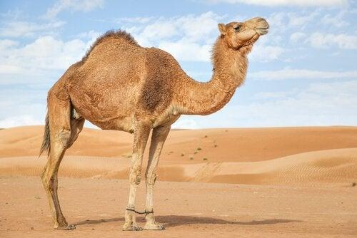 un dromadaire en plein désert