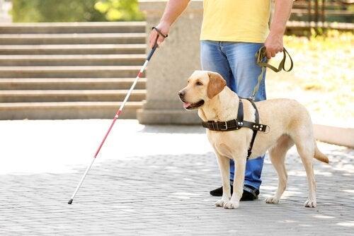 Comment se déroule la vie d'un chien d'aveugle ?