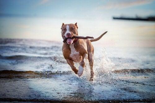 Un chien s'amuse avec un bâton à la mer
