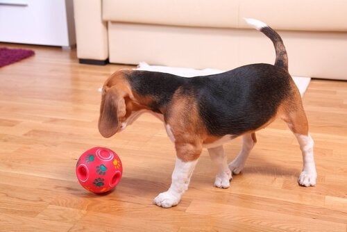 un beagle joue avec une balle