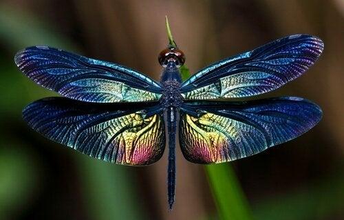Tout sur la libellule, ce grand insecte ailé