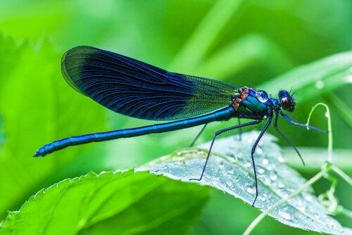 libellule bleue posée sur une feuille