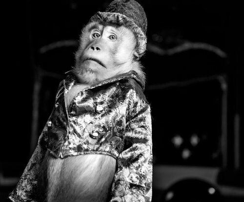 singe habillé en clown subissant la maltraitance