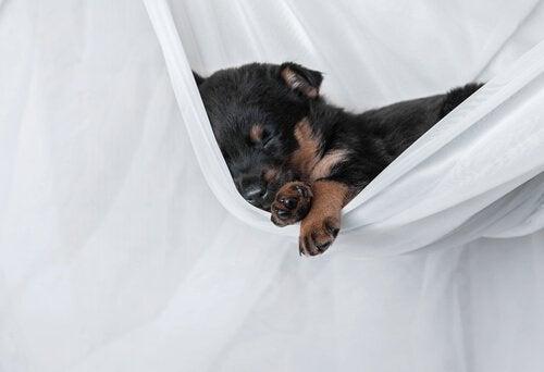 un bébé rottweiler endormi
