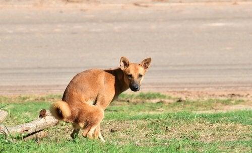 chien qui défèque dans une pelouse