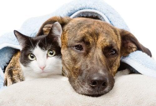 Les anti-inflammatoires chez les chiens et les chats: un risque mortel