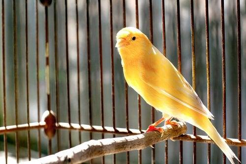 canari dans une cage sur un perchoir