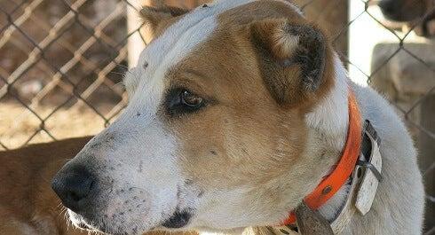 adoption de chiens en Thaïlande