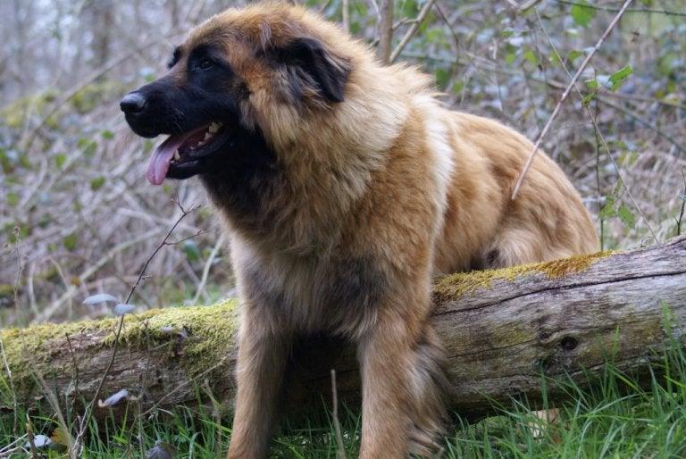 chien de la Serra da Estrela sur un rondin de bois