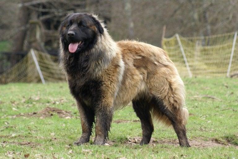 Le chien de la Serra da Estrela, grand et travailleur