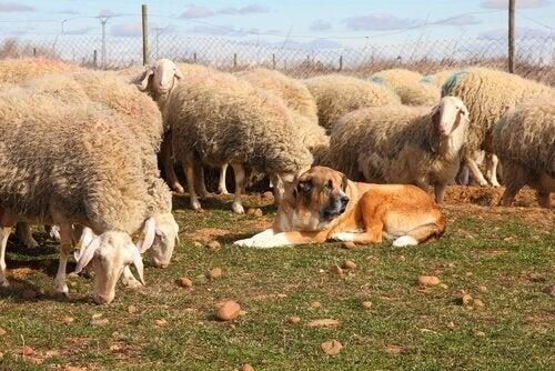 chien couché au milieu d'un troupeau de moutons