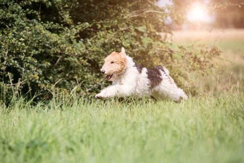 Un fox terrier court dans l'herbe