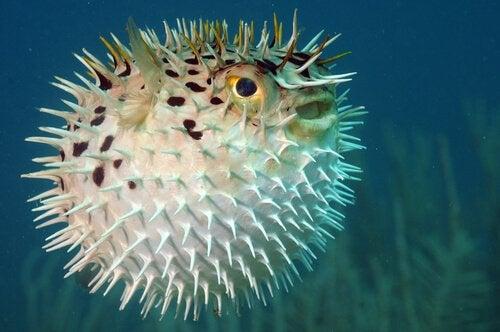 poisson-globe qui se gonfle d'eau pour se défendre
