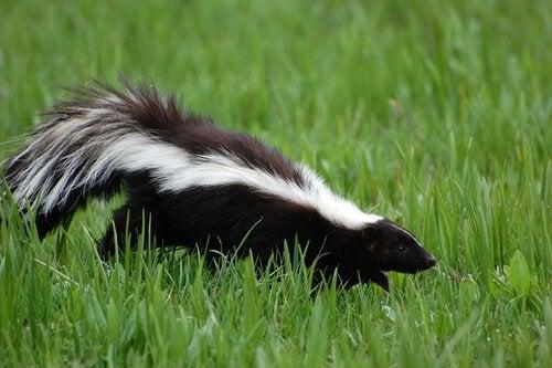 mouffette qui se promène dans l'herbe