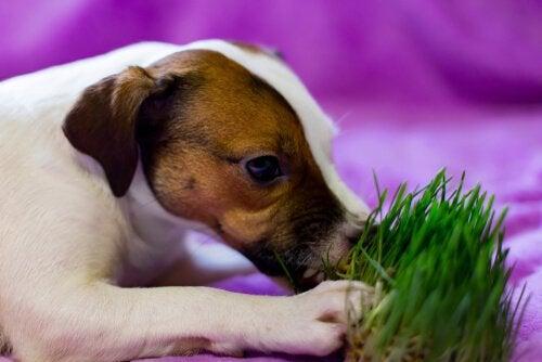 chien mangeant de l'herbe
