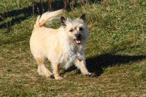 le cairn terrier fait partie des races de chiens courts sur pattes