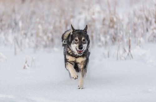 chien d'élan norvégien qui court dans la neige