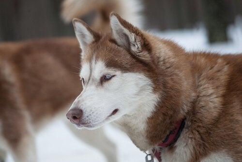 Malamute d'Alaska et Husky Sibérien